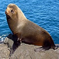 wildlife galapagos fur seal
